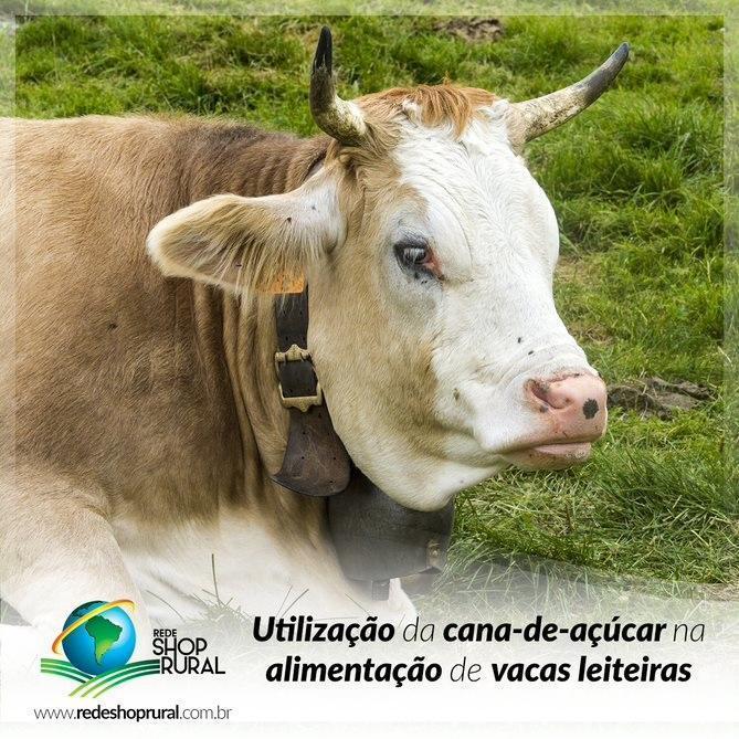 Utilização da cana-de-açúcar na alimentação de vacas leiteiras