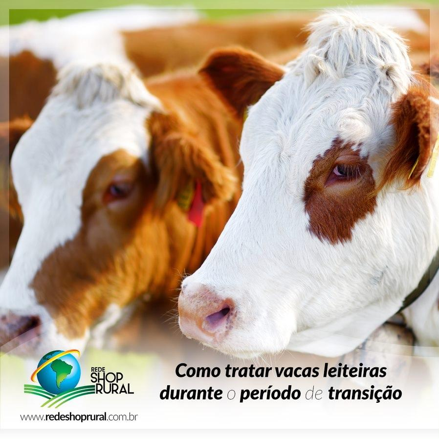 Como tratar vacas leiteiras durante o período de transição