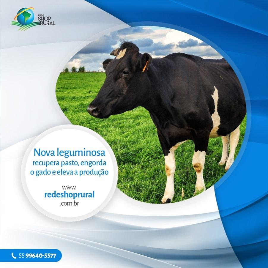 Nova leguminosa recupera pasto, engorda o gado e eleva produção de leite