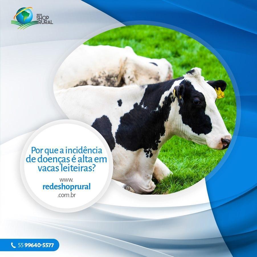 Por que a incidência de doenças é alta em vacas leiteiras?