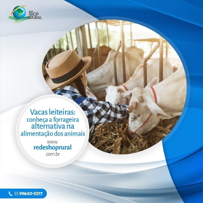 Vacas leiteiras: conheça a forrageira alternativa na alimentação dos animais